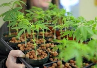Microsoft ключается в марихуановый бизнес