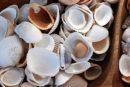 Учёные поведали о необычных свойствах морских ракушек