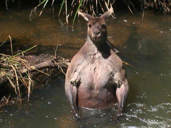 Житель Австралии столкнулся на прогулке с кенгуру-бодибилдером (ФОТО)