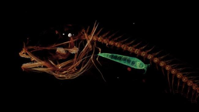 Ученые обнаружили самую глубоководную в мире рыбу